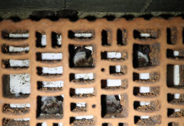 Überwinternde Fransenfedermäuse in sogenannten Fledermausbetten. Foto: Henning Kunze