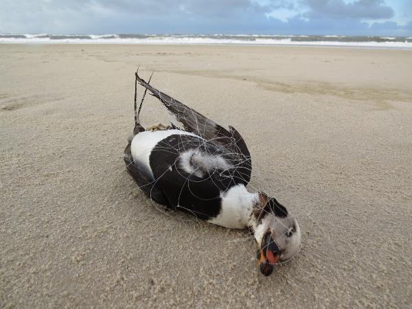 Eisente. Ertrunken im Stellnetz. Eine von jährlich tausenden Beifang-Opfern der Fischerei. (c) Rainer Borcherding