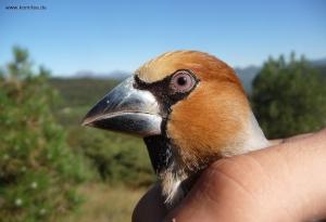 Befreiter Kernbeißer (c) Komitee gegen den Vogelmord